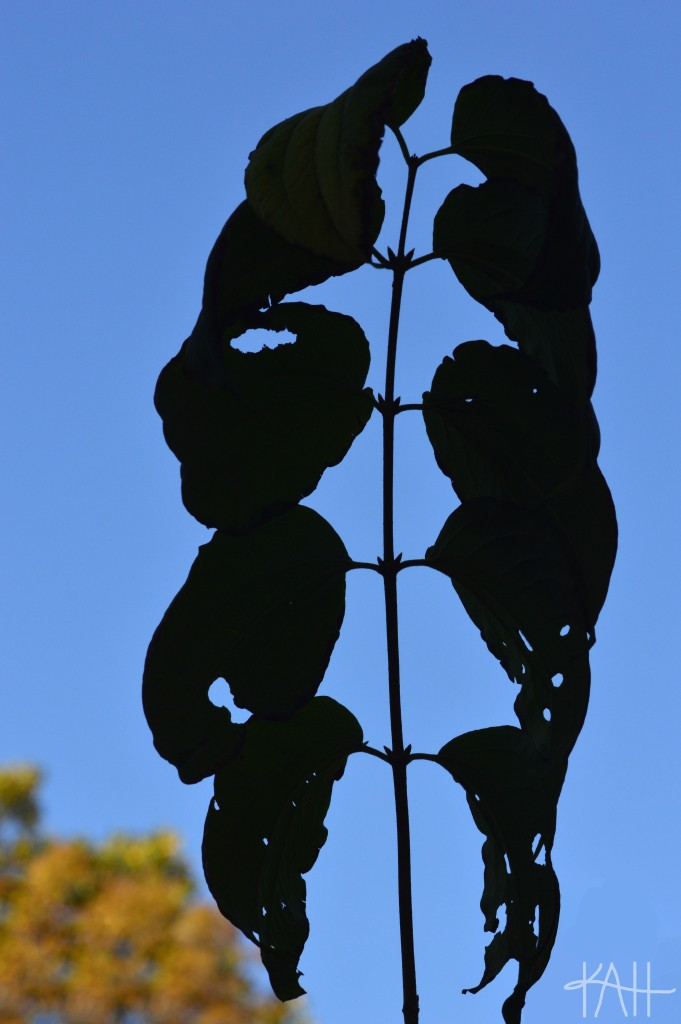 Leaf silhouette that looks like a rib cage-- just in time for Halloween! Botanical Gardens, UNCC (Oct. 17th)