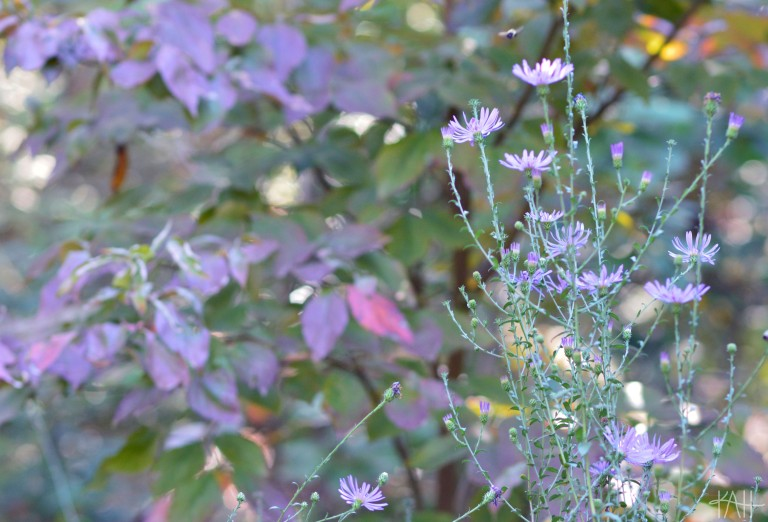 Whoever chose to put these two violet plants next to each other, thank you. The small bee I captured in the picture thanks you, too. Botanical Gardens, UNCC (Oct. 17th)